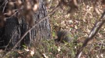 Eastern Fox Squirrel By Tree, Turns, Back To Camera