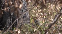 Eastern Fox Squirrel By Tree, Turns Toward Camera And Hides