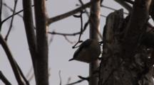Red Breasted Nuthatch Feeding, Exits