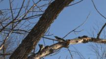 Hairy Woodpeckers, Performing Mating Dance In Tree, Exit Bottom