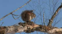 Red Squirrel, Sitting In Sun, Sniffs Along Branch