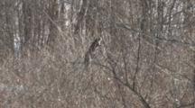 Grey Squirrel, Feeding, Reaching For Gray Dogwood Berries, Exits