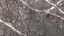 Northern Cardinal Pair Sitting In Birch Tree, Bare Branches