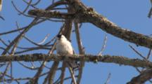 White Breasted Nuthatch On Branch, Preening, Fluffs, Exits Upside Down