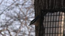 Red Breasted Nuthatch Feeding From Suet Feeder On Tree