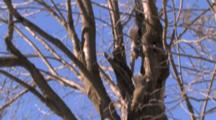 Amorous Grey Squirrels, Chasing, Circling, Up And Down In Basswood Tree