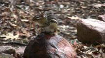 Eastern Chipmunk On Rock, Sitting Upright, Moves Tail, Looks Behind