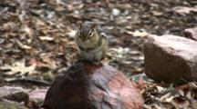 Eastern Chipmunk On Rock, Sitting Upright, Looking To Side