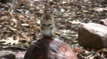 Eastern Chipmunk On Rock, Sitting Upright, Turns Head