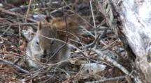 Red Squirrel On Forest Floor, Searching For, Eating Food
