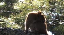 Red Squirrel, Scratching, Grooming Foot And Back