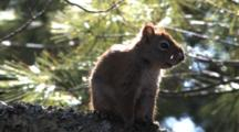 Red Squirrel, Watching Toward Back, Turns, Grooms, Looks