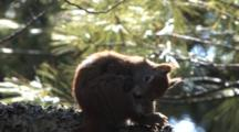 Red Squirrel, Backlit By Sun, Grooming Hind Leg, Scratching Ear