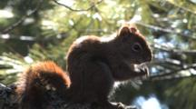 Red Squirrel, Backlit By Sun, Sits Upright, Licks Paws