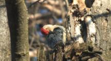 Red-Bellied Woodpecker, Male, On Tree Trunk, Preening