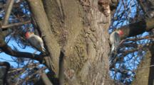 Red-Bellied Woodpecker Pair In Tree, Male Boring Hole, Female Flies Off