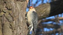 Red-Bellied Woodpecker, Male, On Tree Trunk, Looking Around