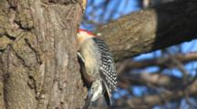 Red-Bellied Woodpecker Looking In Hole In Tree For Grubs