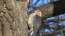 Red-Bellied Woodpecker Calling From Tree Trunk