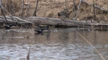 Wood Duck Trio Enters Frame, Hen Jumps Onto Log, Preens