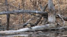 Wood Duck Pair On Log In Pond, Bobbing Heads, Drake Leaves, Hen Follows