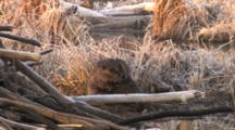 Beaver Sitting By Lodge, Grooming, Trying To Reach Back Fur