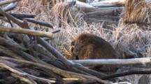 Large Beaver Sitting By Lodge, Grooming With Hind Foot