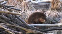 Large Beaver Sitting By Lodge, Grooming Abdomen