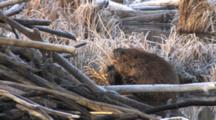 Large Beaver Sitting By Lodge, Scratching Chin With Hind Foot, Showng Teeth