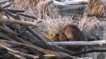 Beaver Sitting By Lodge, Scratching Sides, Grooming, Stomach, Biting Fur