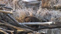 Beaver Sitting By Lodge, Leaning, Scratching Sides, Grooming, Exits Into Water