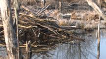 Beaver Lodge In Pond, Frost On Reeds, Early Morning