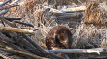Large Beaver Sitting By Lodge, Scratching Stomach, Grooming