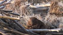 Large Beaver Sitting By Lodge, Grooming Stomach, Sides, Neck, Ear,