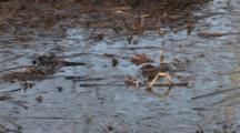 Spring Peeper Frogs, Calling, Hopping In Wetland