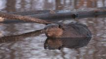 American Beaver Sitting Quietly In Pond, Reflection, Turns, Puts Back To Camera