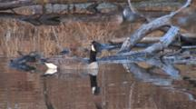 Canada Goose Gander, Sitting In Pond, Teal Ducks Fly Past, Goose Shakes Head