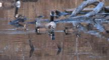 Teal Duck Trio, Swim Past Canada Goose Gander, Sitting In Pond,