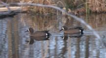 Blue-Winged Teal Ducks, Drakes Feeding, Swimming