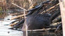 American Beaver Working On Lodge, Placing Sticks Just Right, Turns, Exits