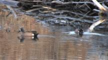 Blue-Winged Teal Duck  Drakes, Swim In Reflection Of Beaver Lodge