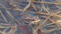 Wood Frog Motionless In Pond