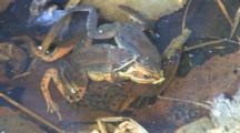 Two Wood Frog Males, Competing, Kicking, Clasping Dead Female