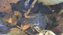 Two Wood Frog Males, Competing, Clasping Dead Female, Large Water Beetle Beneath