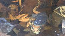 Wood Frog Male, Clasping Dead Female, Mosquito On Head, Larvae In Water