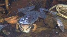 Wood Frog Male, Clasping Dead Female, Mosquito On Head