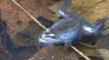 Wood Frog On Pond Surface, Croaks Twice, Mosquito Larvae In Water