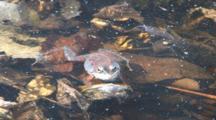 Wood Frog Drifting On Surface Of Pond, Kicks One Leg, Exits