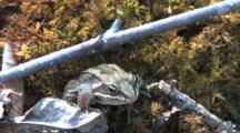 Wood Frog Sitting On Sphagnum Moss