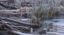 American Beaver Enters Frame, Dives Under Lodge, Frost On Reeds
